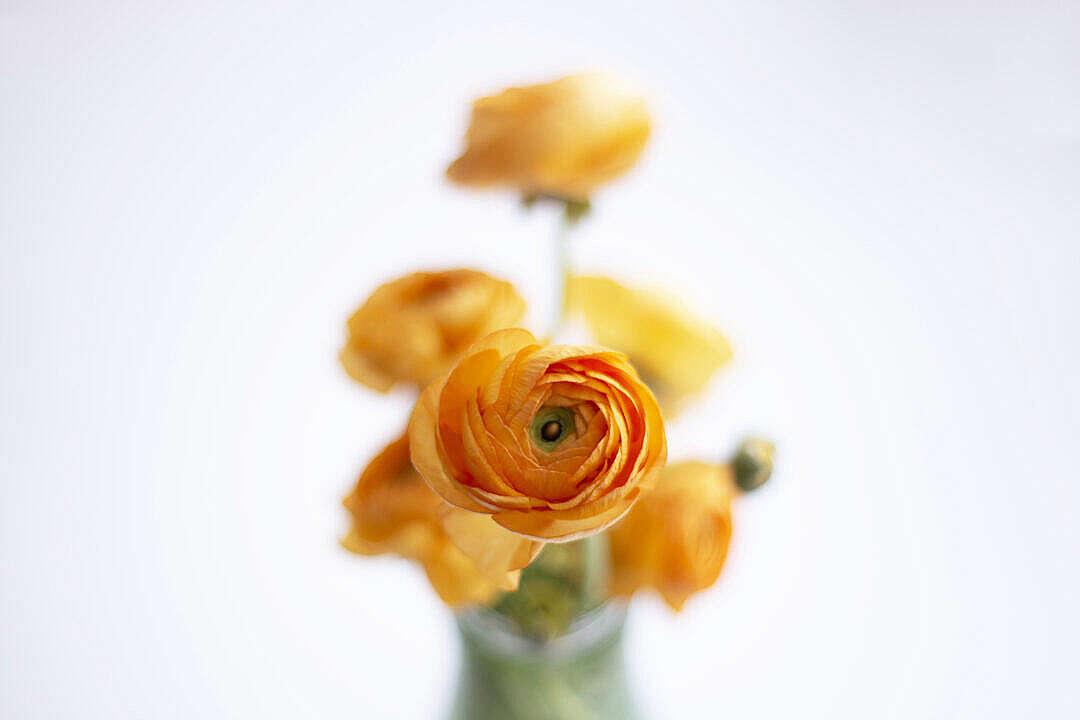 Download Orange Flowers Close Up FREE Stock Photo