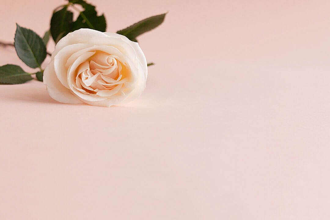 Download Orange Rose with Place for Text FREE Stock Photo