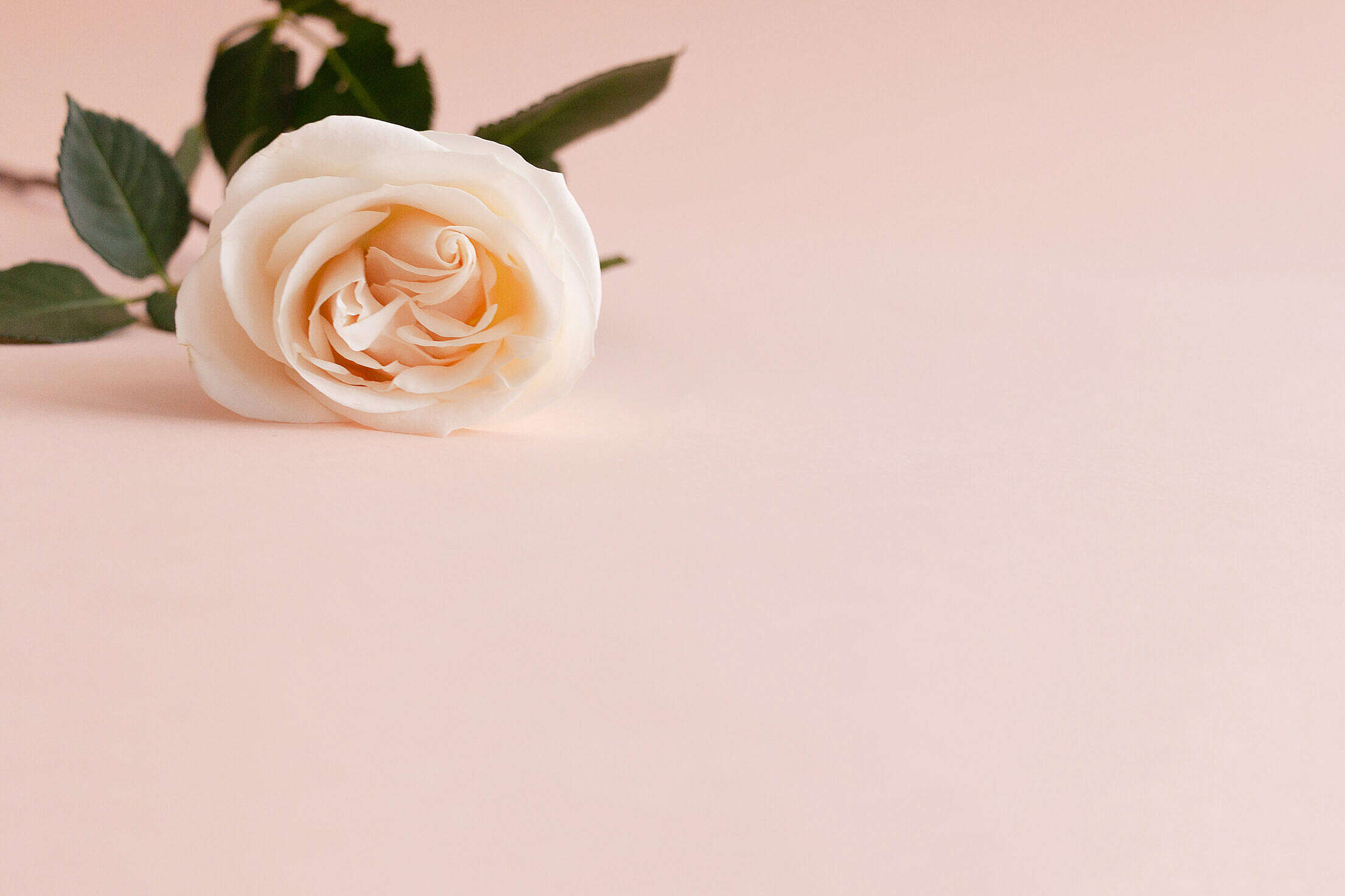 Orange Rose with Place for Text Free Stock Photo