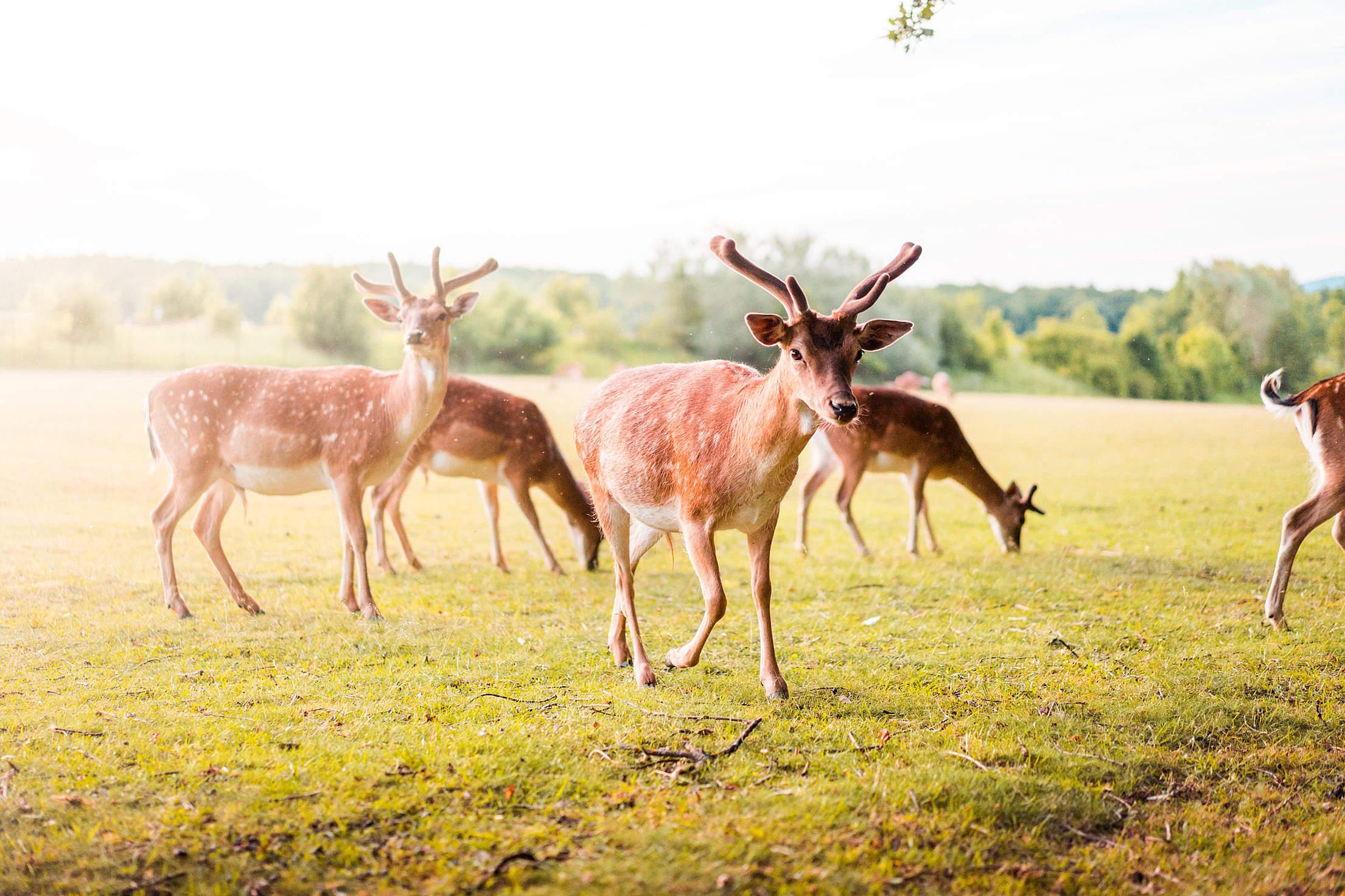 Pack of Fallow Deer Free Stock Photo