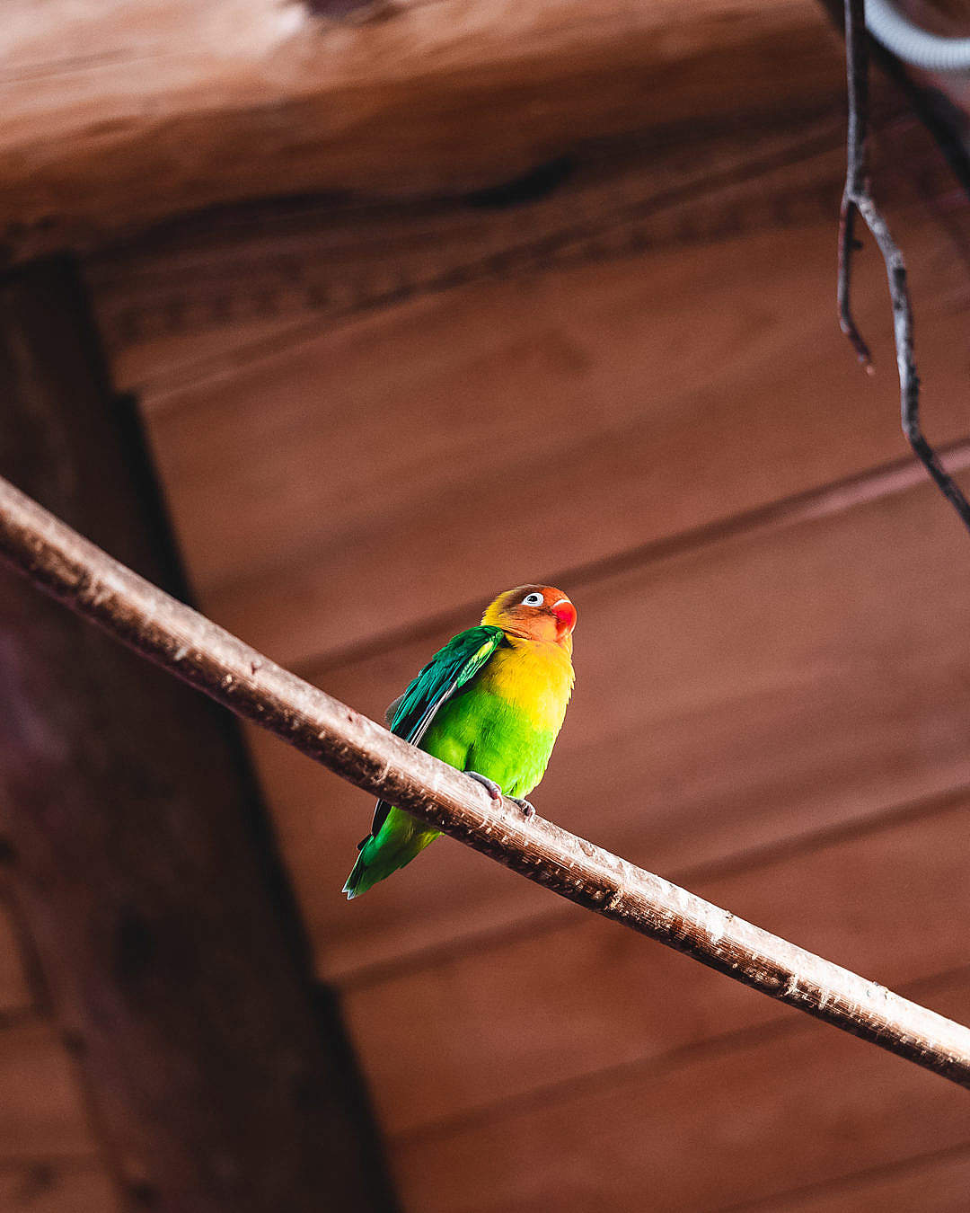 Download Parrot Agapornis Fischeri FREE Stock Photo