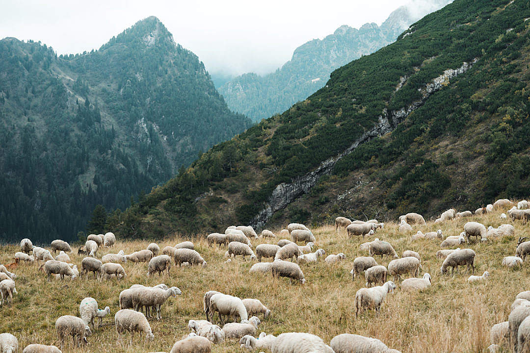 Download Pasture Full of Sheep in Mountains FREE Stock Photo