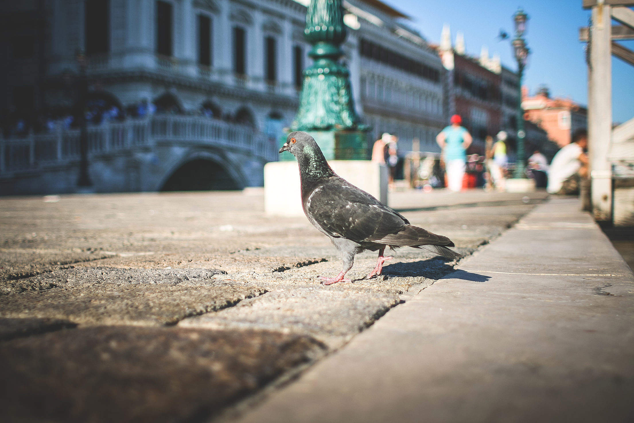 Pigeon in Venice Streets Free Stock Photo