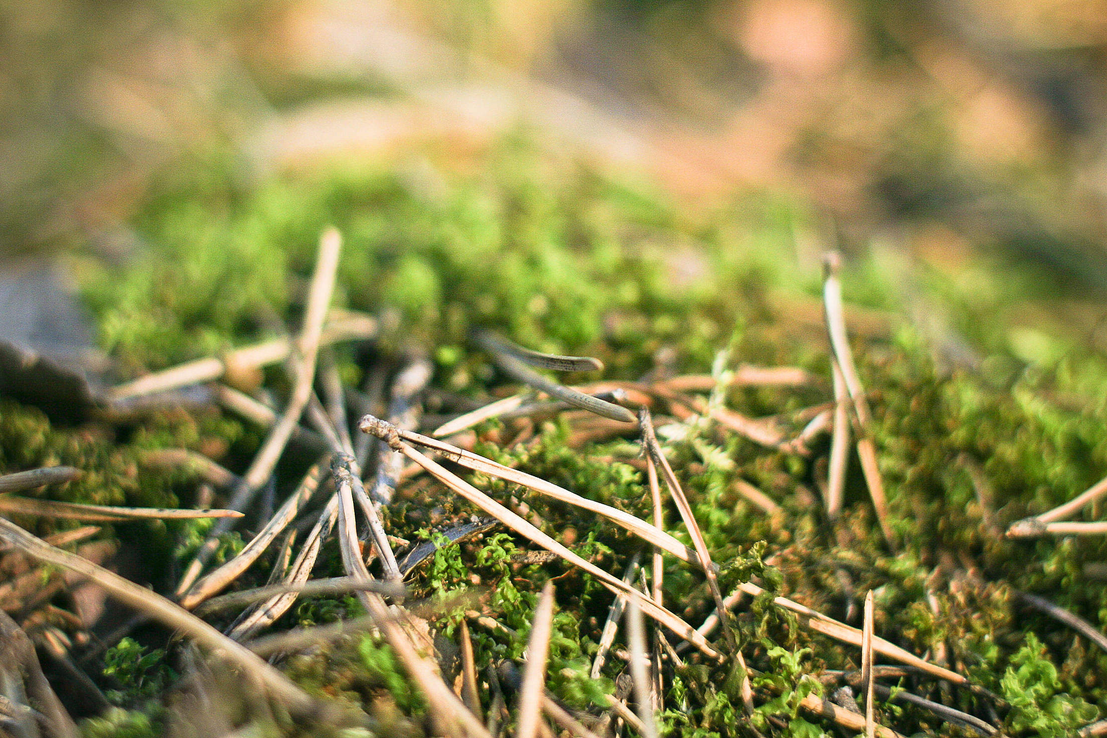 Pine Needles in Forest Free Stock Photo