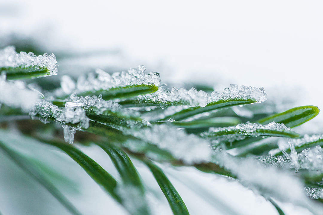 Download Pine Needles With Snow Crystals Close Up FREE Stock Photo