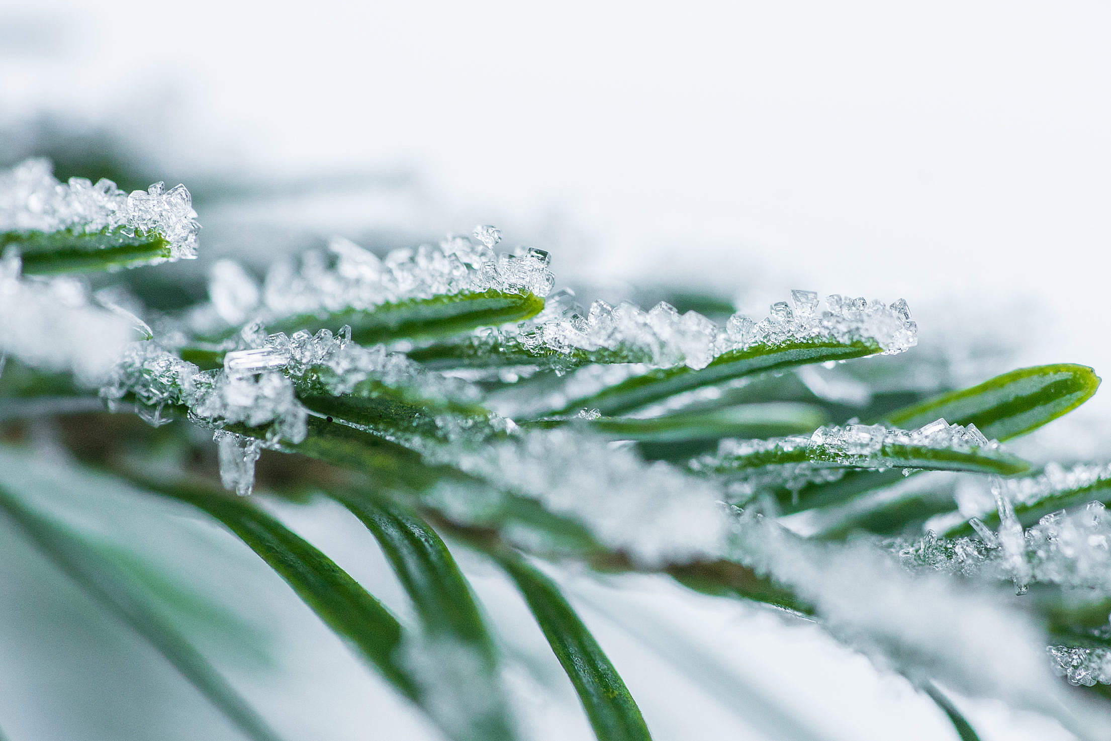 Pine Needles With Snow Crystals Close Up Free Stock Photo