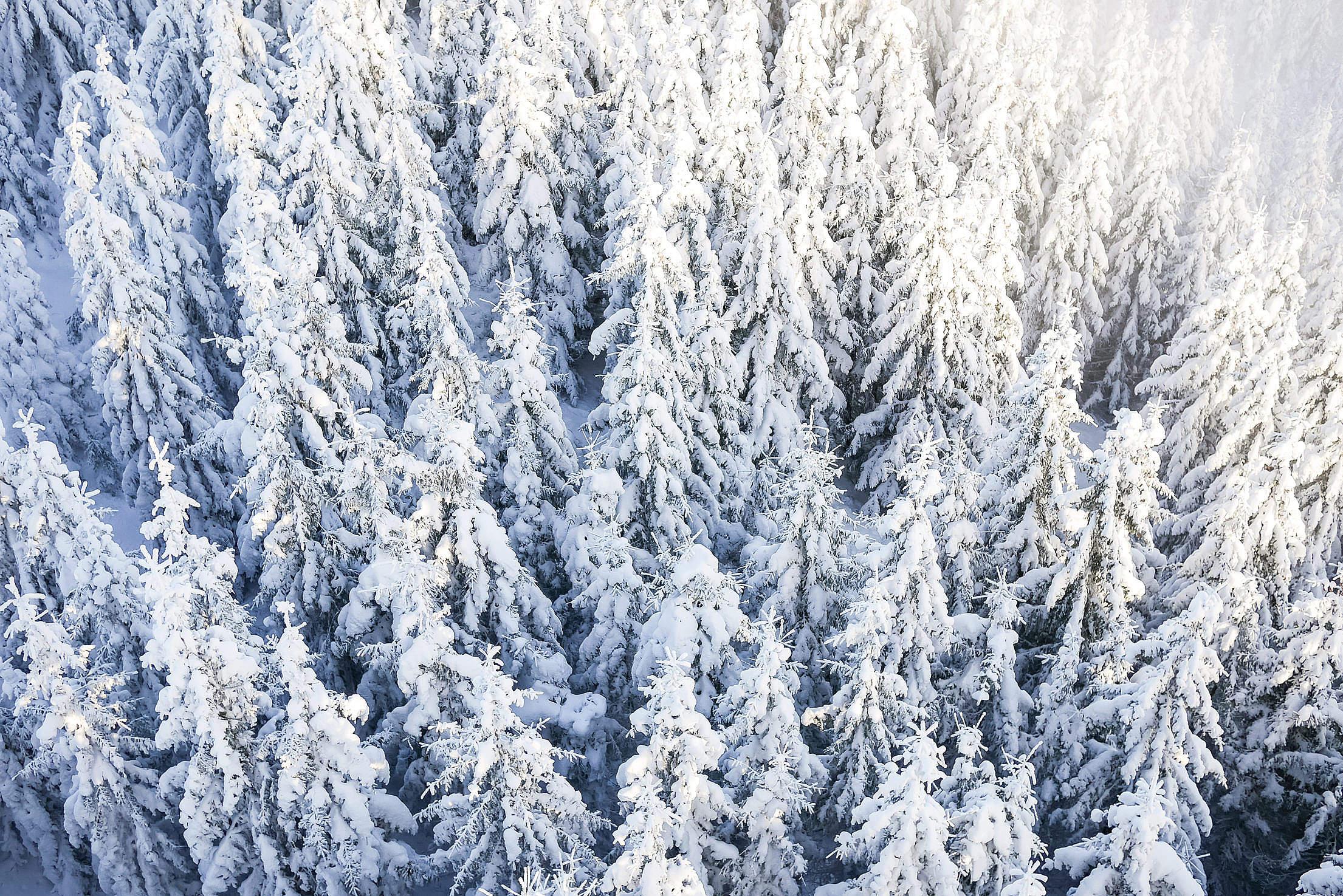 Pine Trees Under The Snow Free Stock Photo