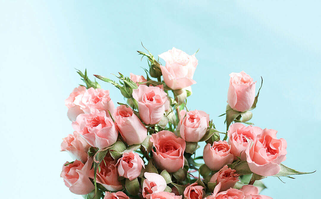 Download Pink Roses on Blue Background FREE Stock Photo