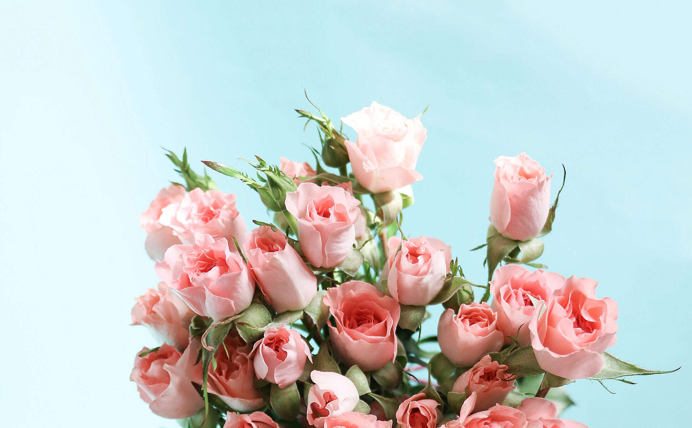 Pink Roses on Blue Background Free Stock Photo
