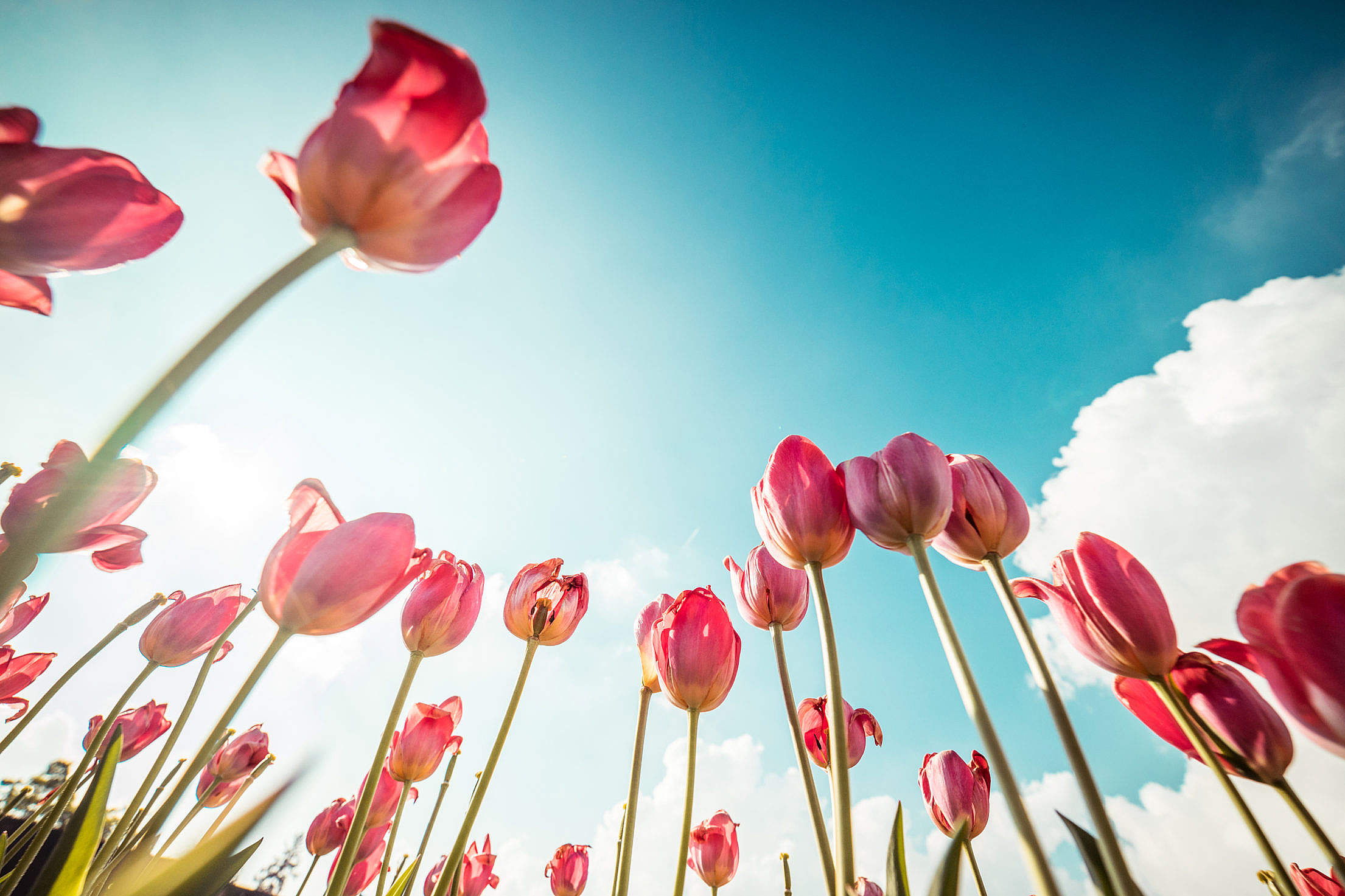 Pink Tulips From Below Free Stock Photo
