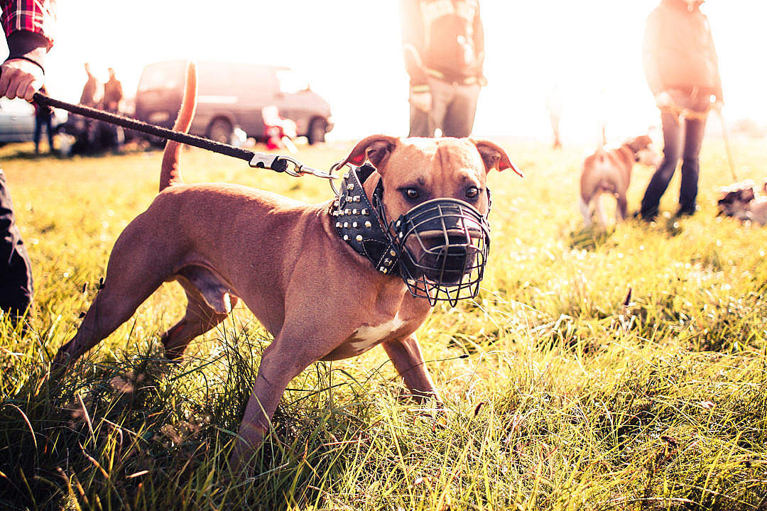 Download Pitbull Ready for Coursing FREE Stock Photo