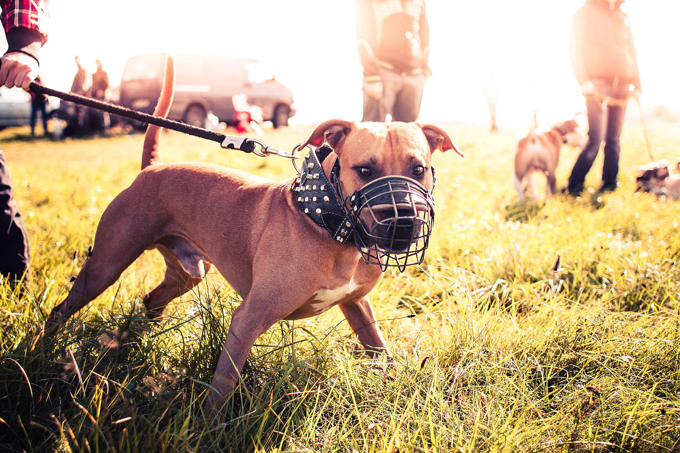 Pitbull Ready for Coursing Free Stock Photo