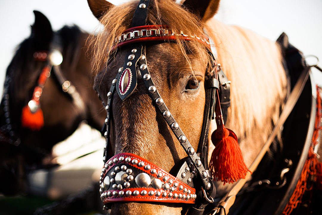 Download Portrait of a Horse in Harness from Horse-Drawn Carriage FREE Stock Photo