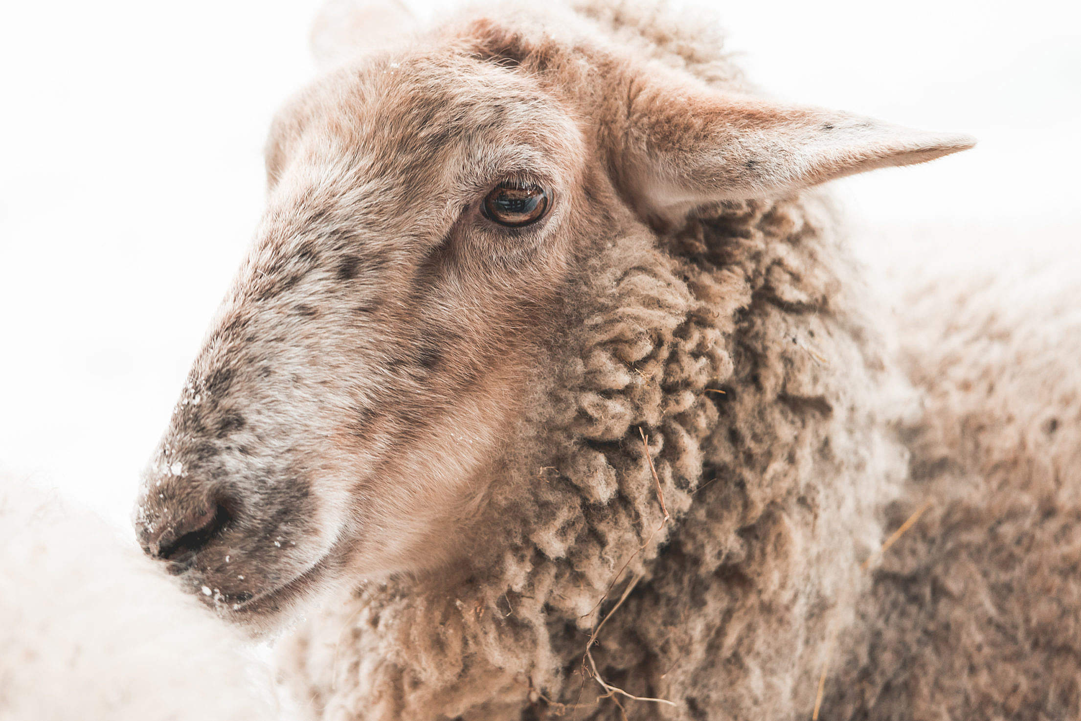 Portrait of Sheep in Winter Free Stock Photo
