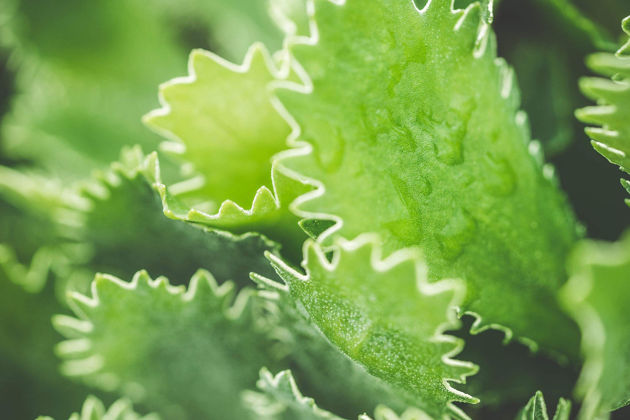 Primula Marginata Green Flower Free Stock Photo