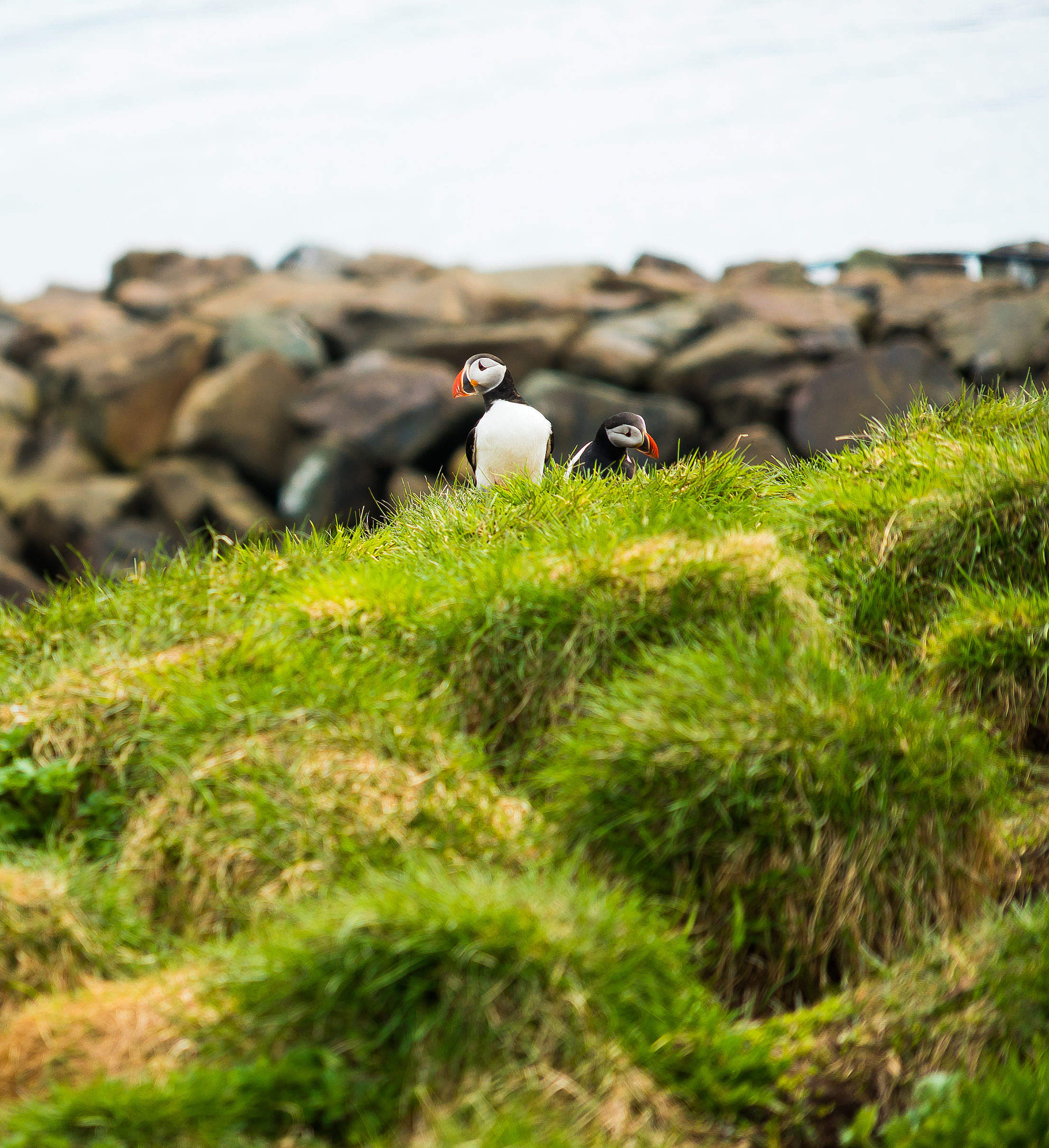 Puffins Icelandic Birds Free Stock Photo