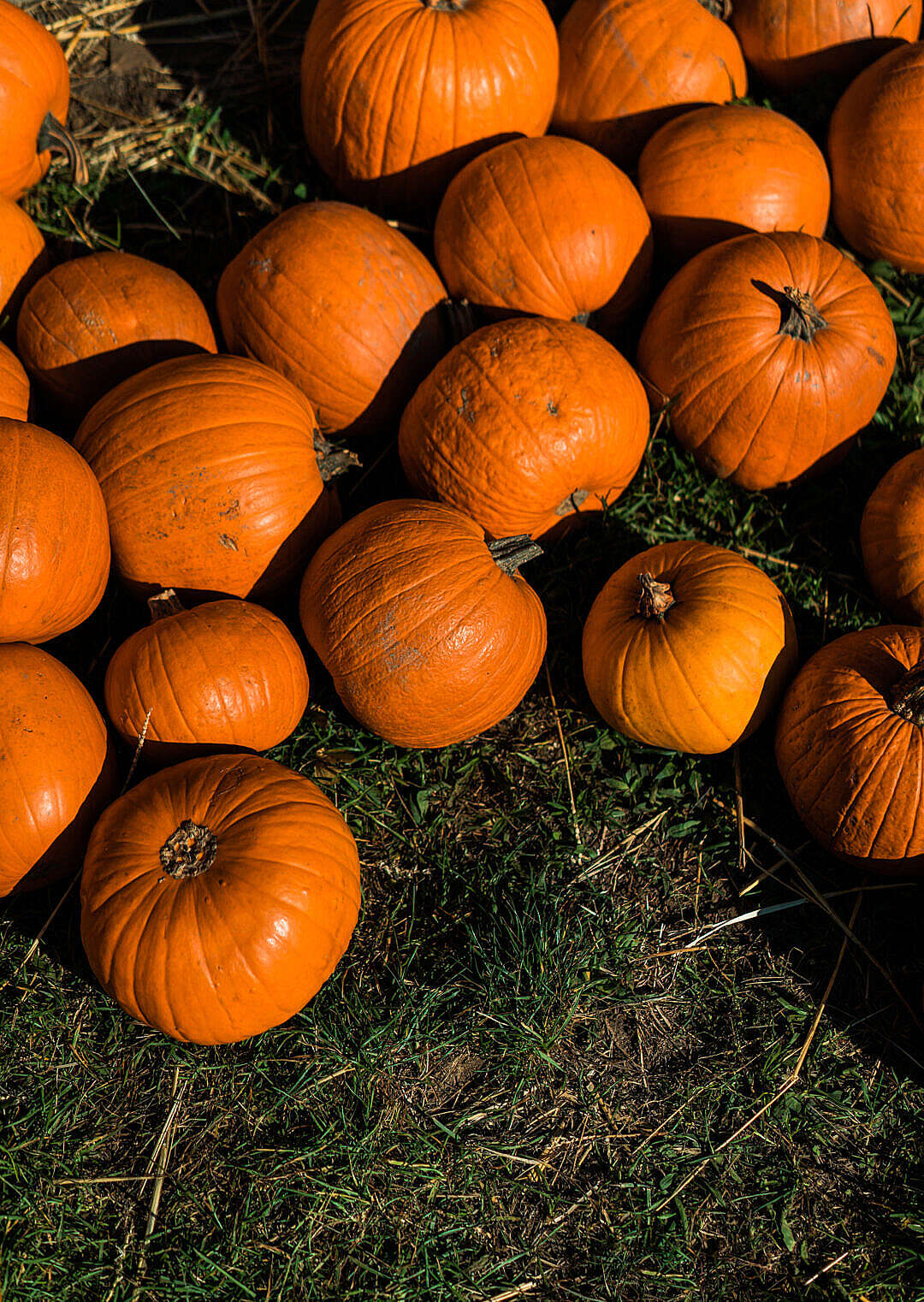 Download Pumpkin Patch FREE Stock Photo