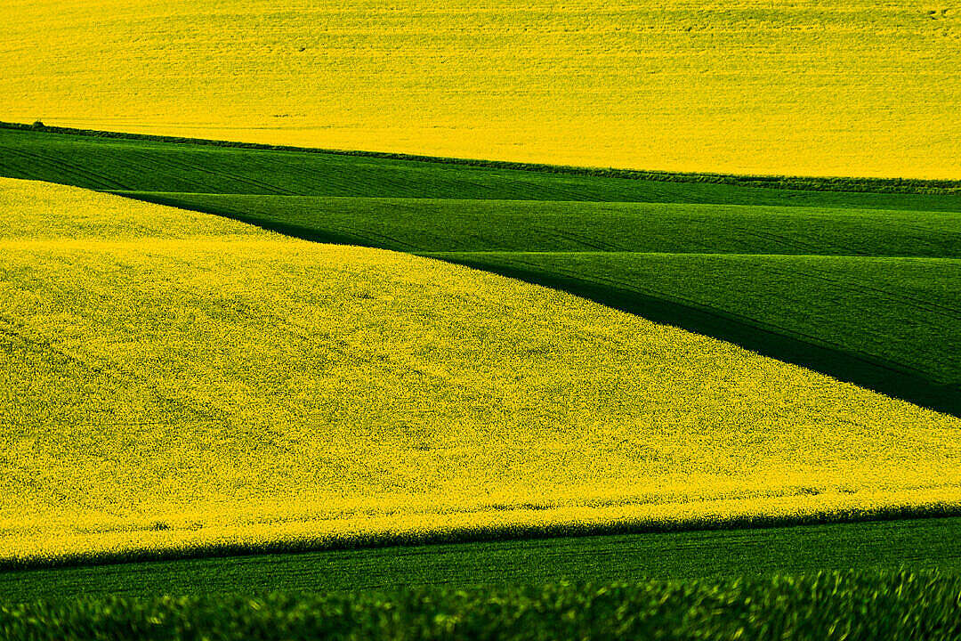 Download Rapeseed and Wheat Fields in Czechia FREE Stock Photo