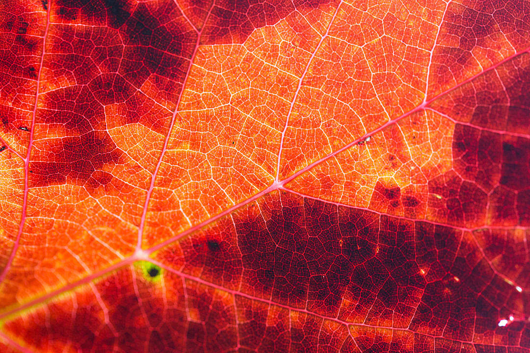 Download Red Autumn Leaf Structure Background FREE Stock Photo