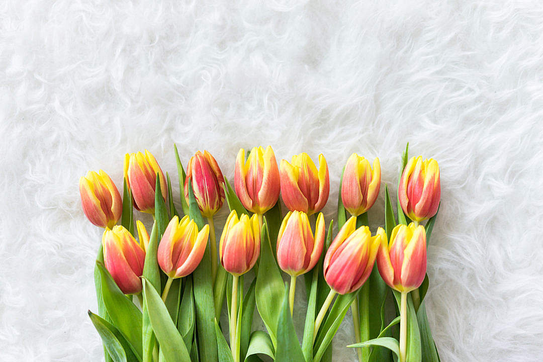 Download Red-Yellow Kees Nelis Tulips on White Pelt FREE Stock Photo