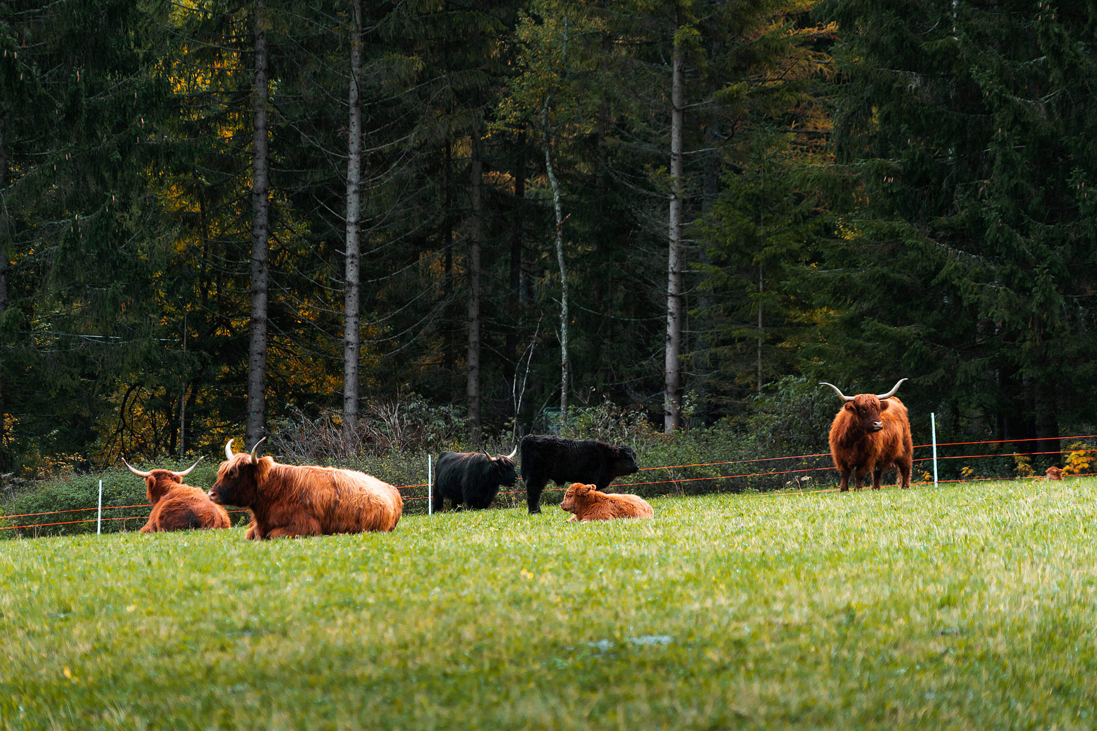 Resting Bulls and Cows on The Grass Free Stock Photo