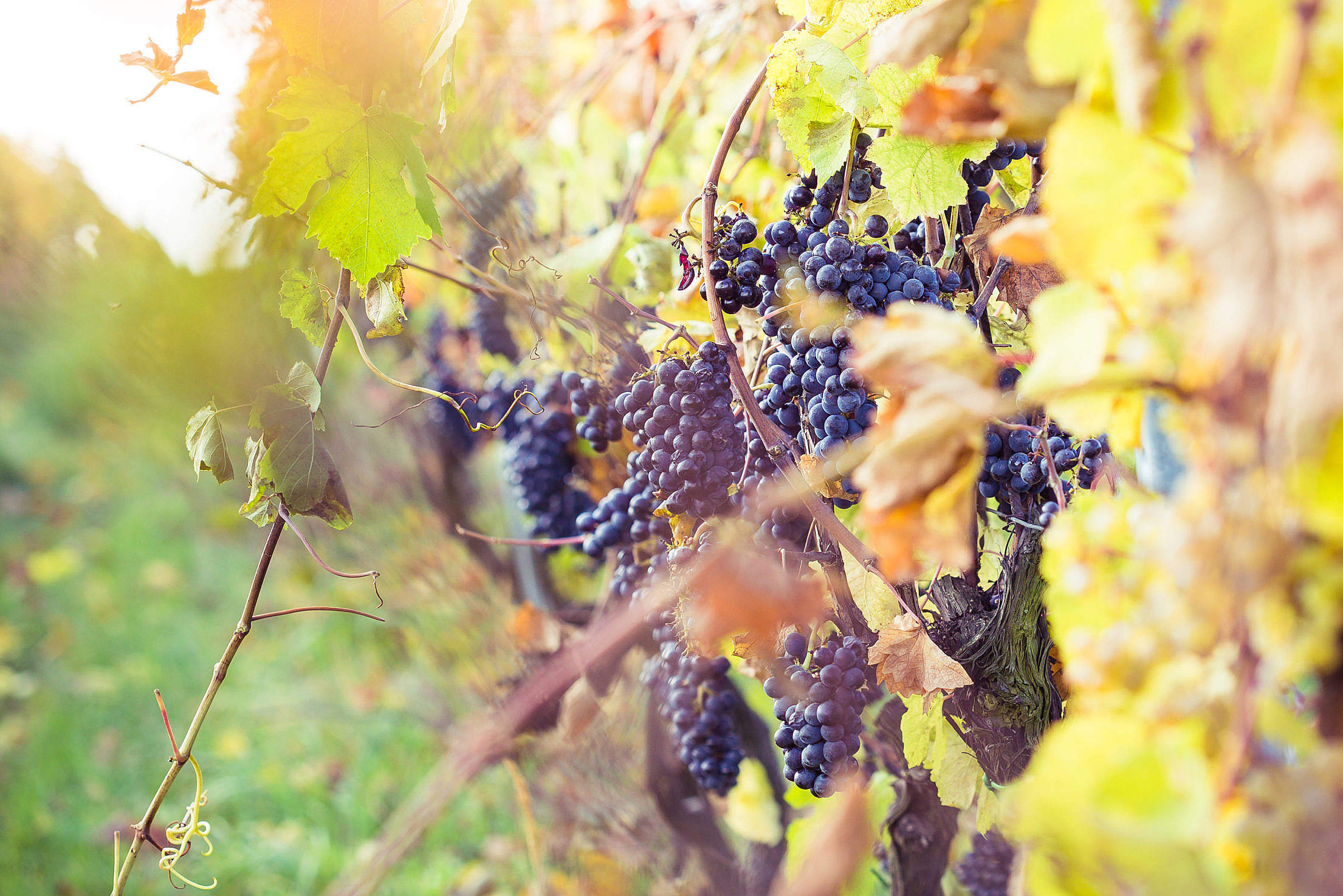 Ripe Grapes in Vineyard Free Stock Photo