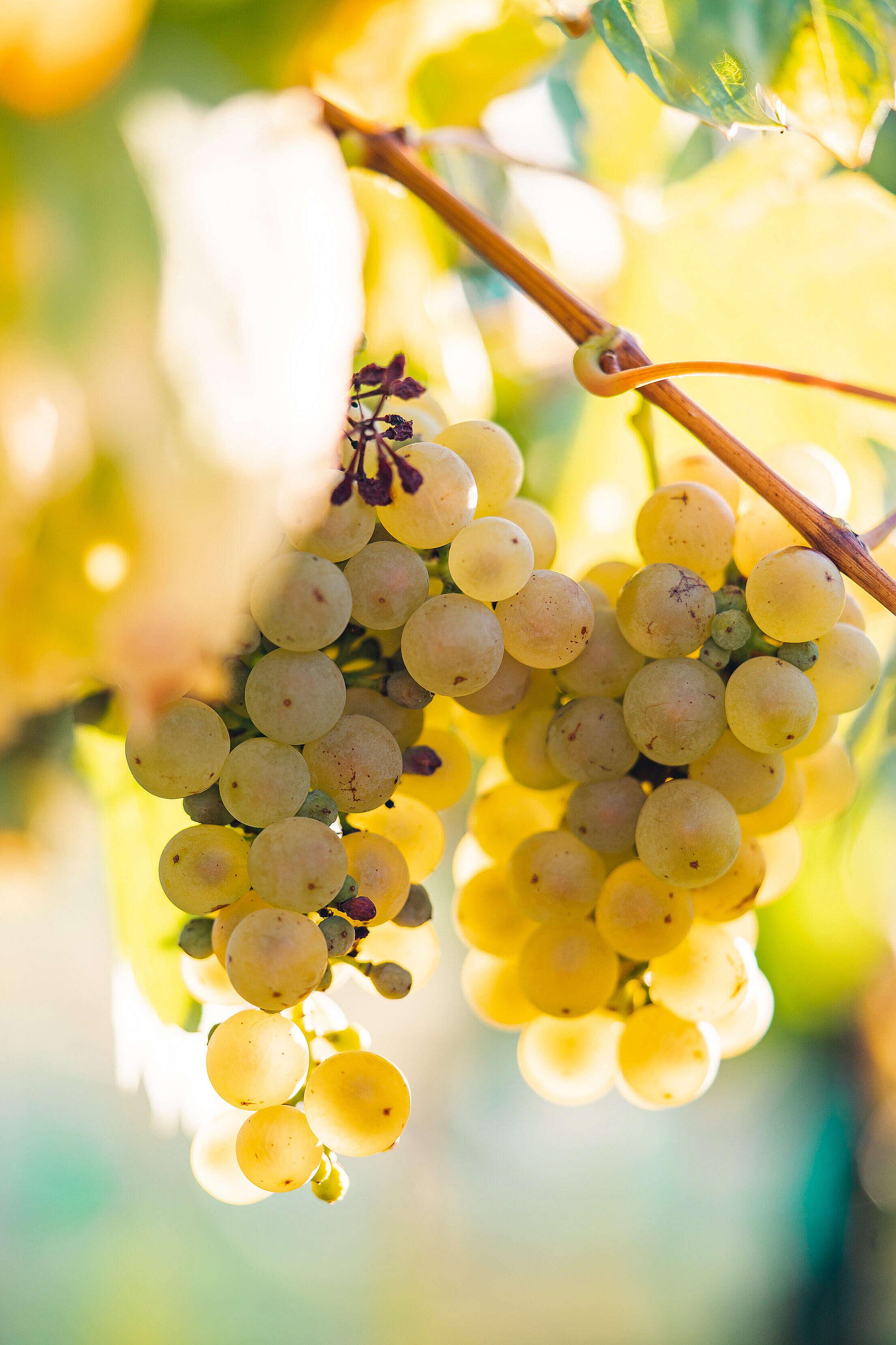 Ripe White Grapes Free Stock Photo