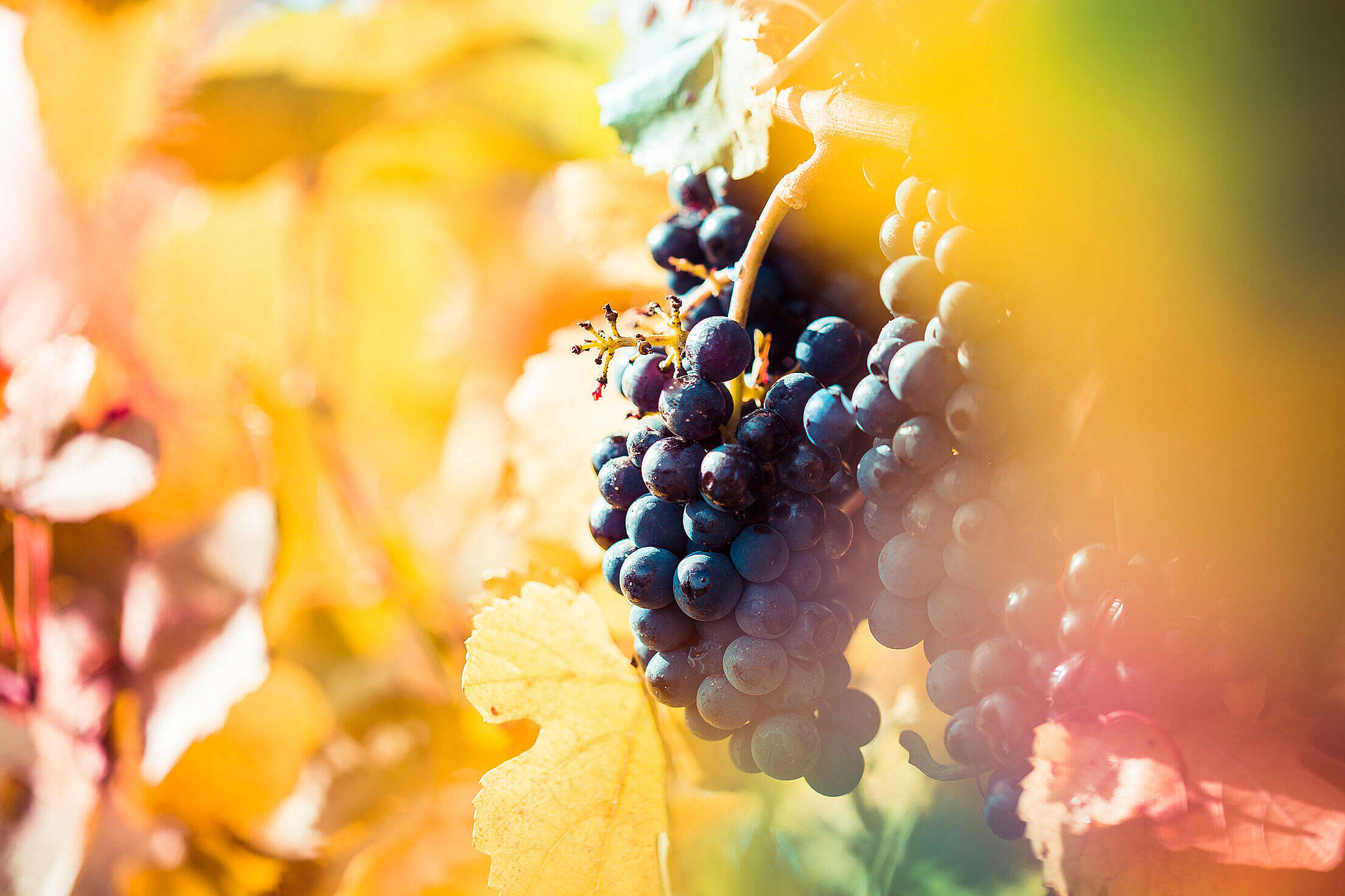 Ripe Wine Grapes in Vineyard Field Free Stock Photo