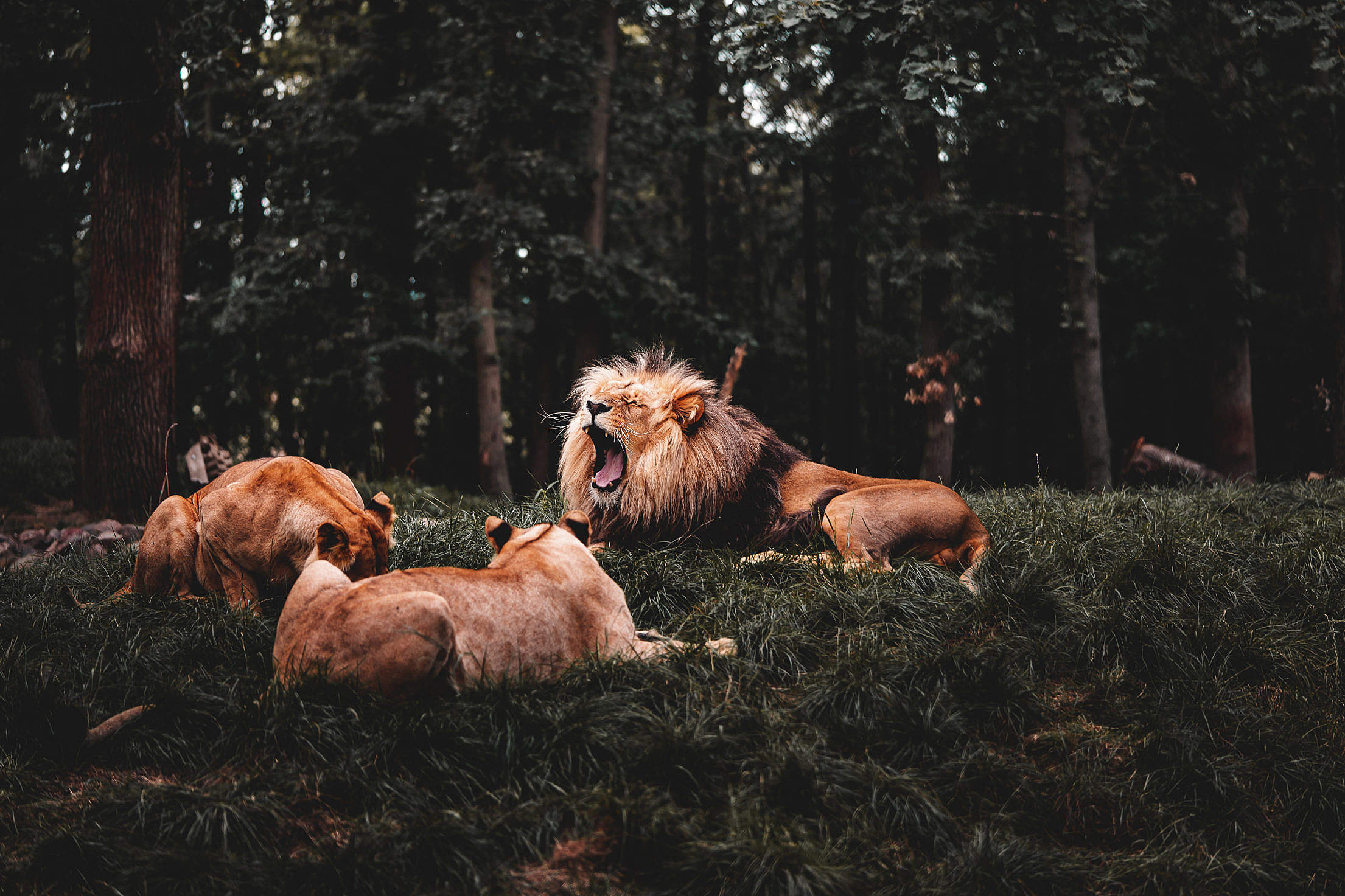 Roaring Lion and Two Lionesses Free Stock Photo