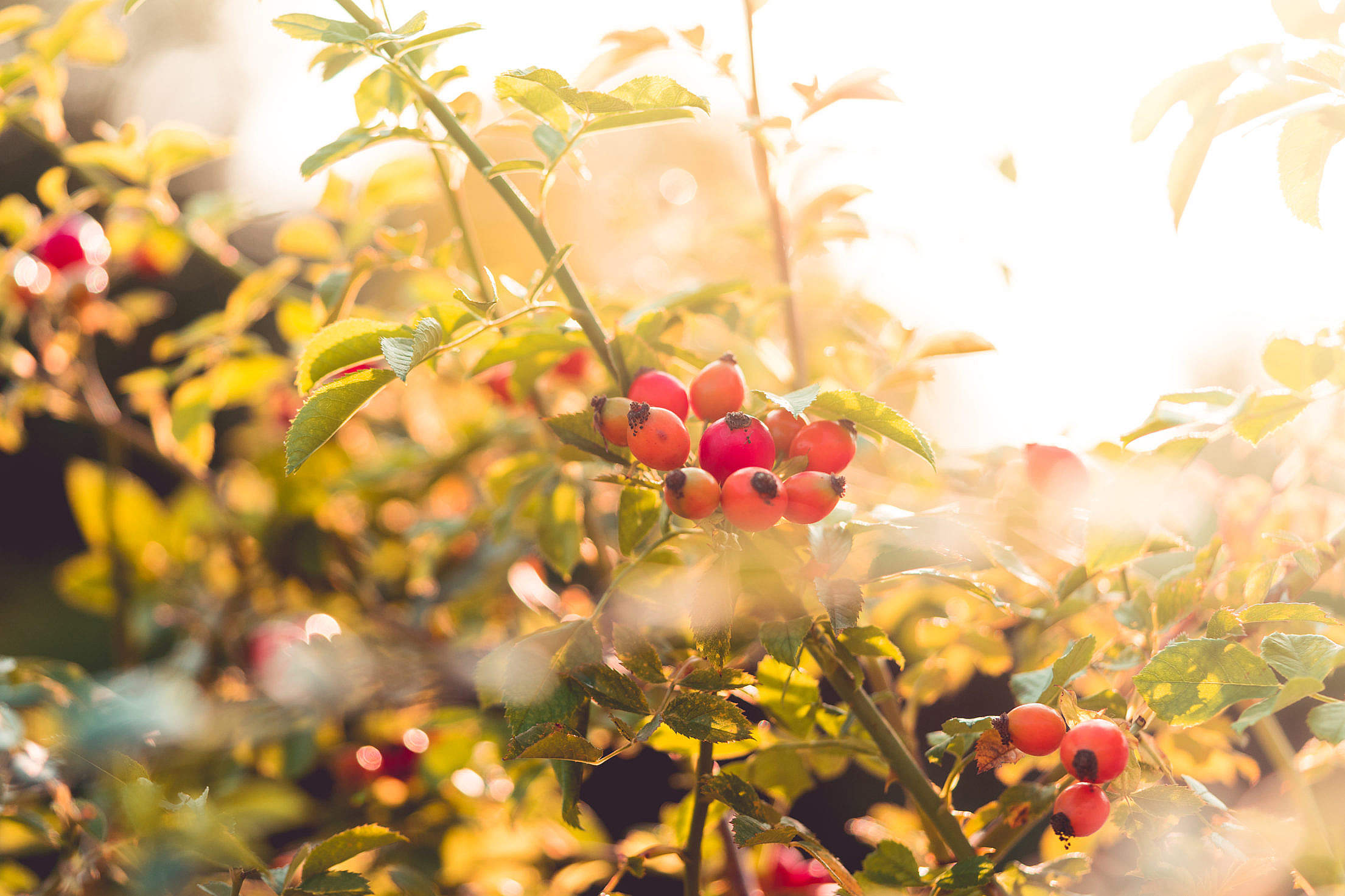 Rose Bush with Berries Rosehips Free Stock Photo