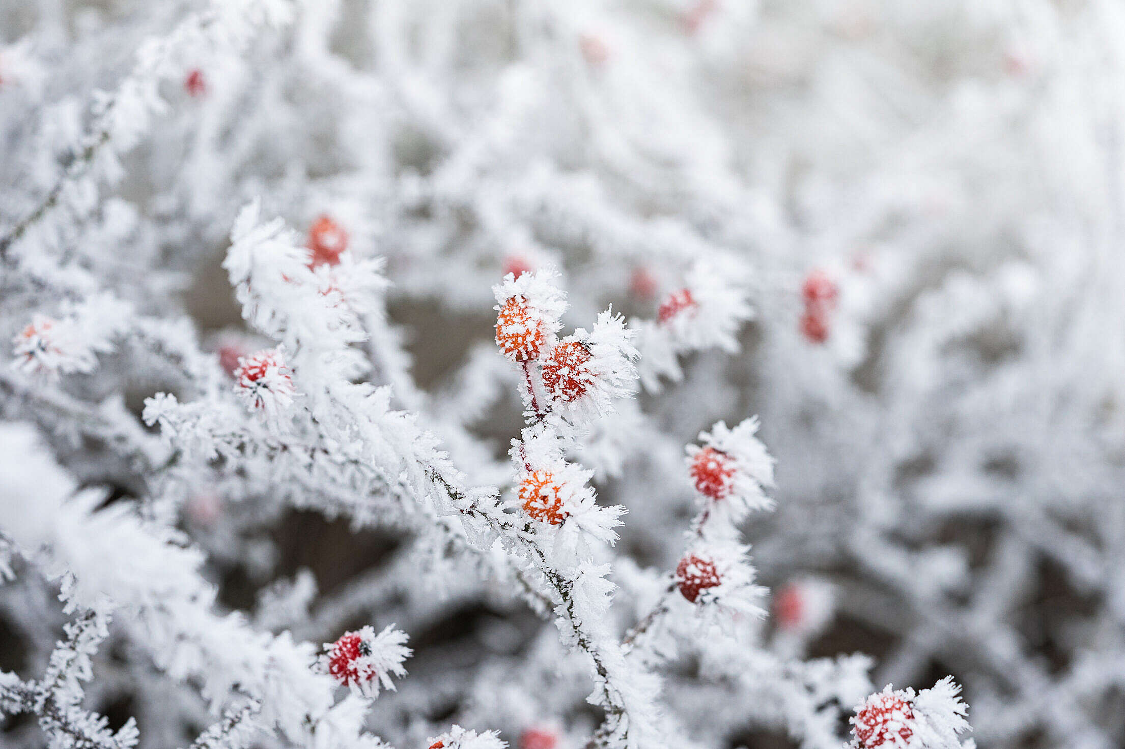 Rose Hips Covered with Hoarfrost Free Stock Photo