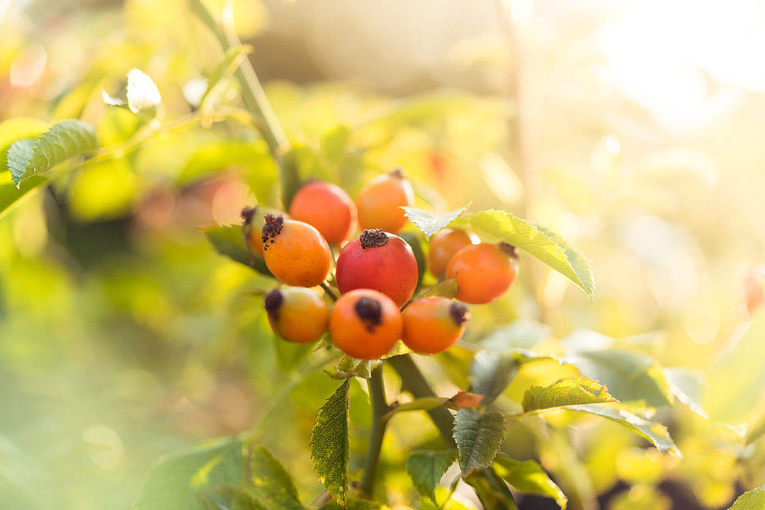 Download Rose Hips Pometum FREE Stock Photo