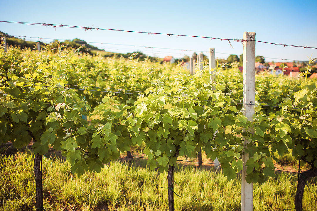 Download Rows of Young Grape Vines FREE Stock Photo
