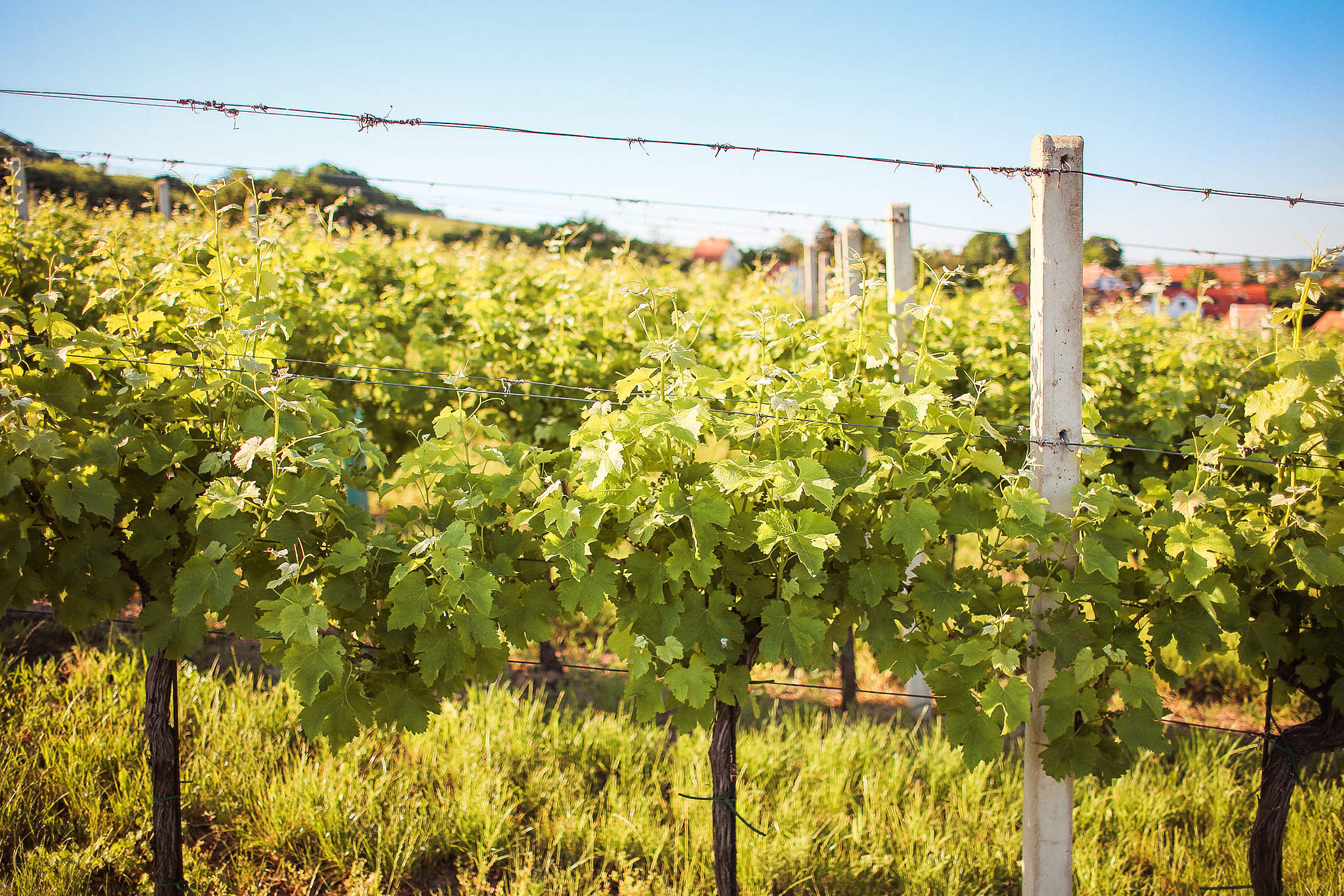 Rows of Young Grape Vines Free Stock Photo