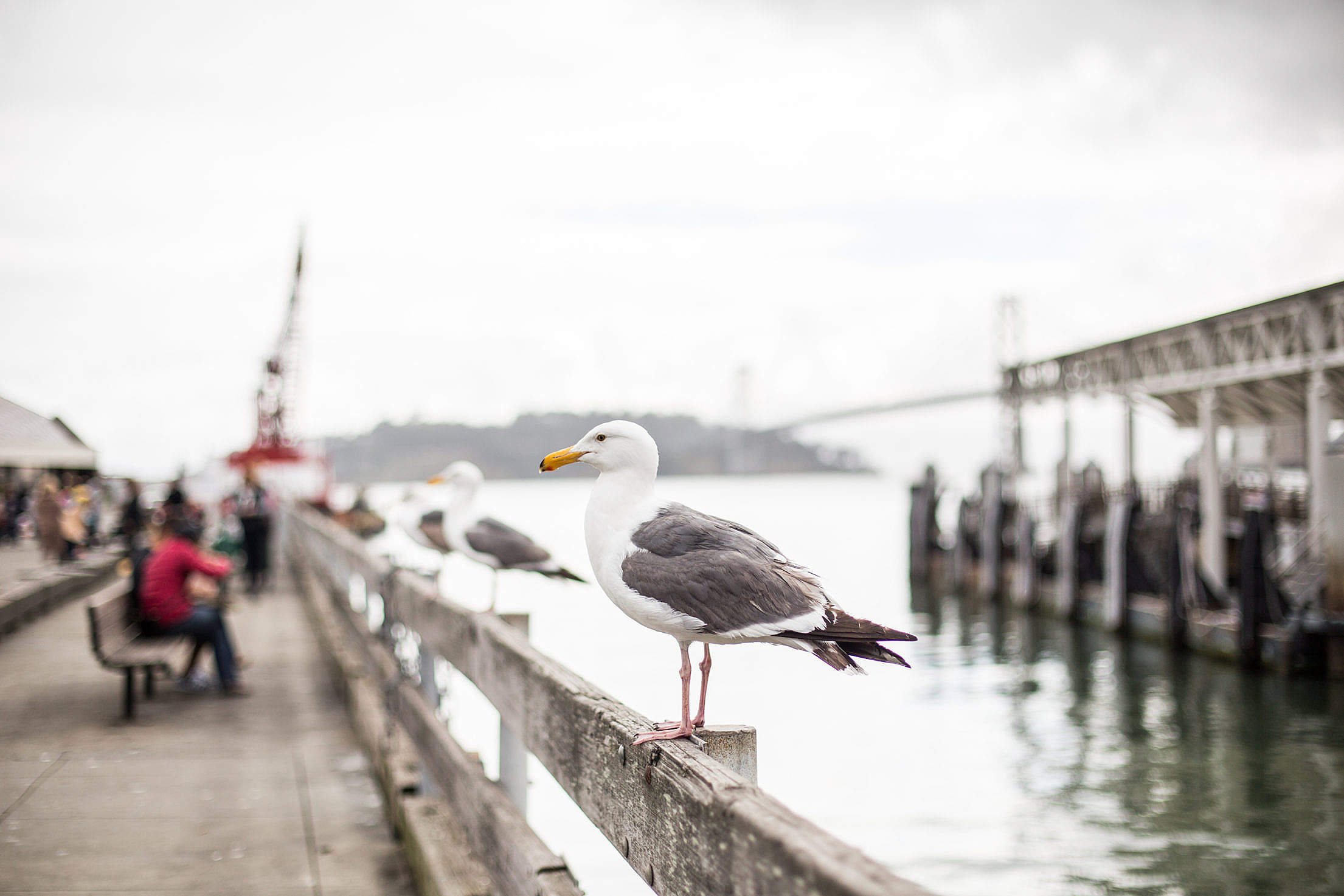 Seagull on San Francisco Pier Free Stock Photo