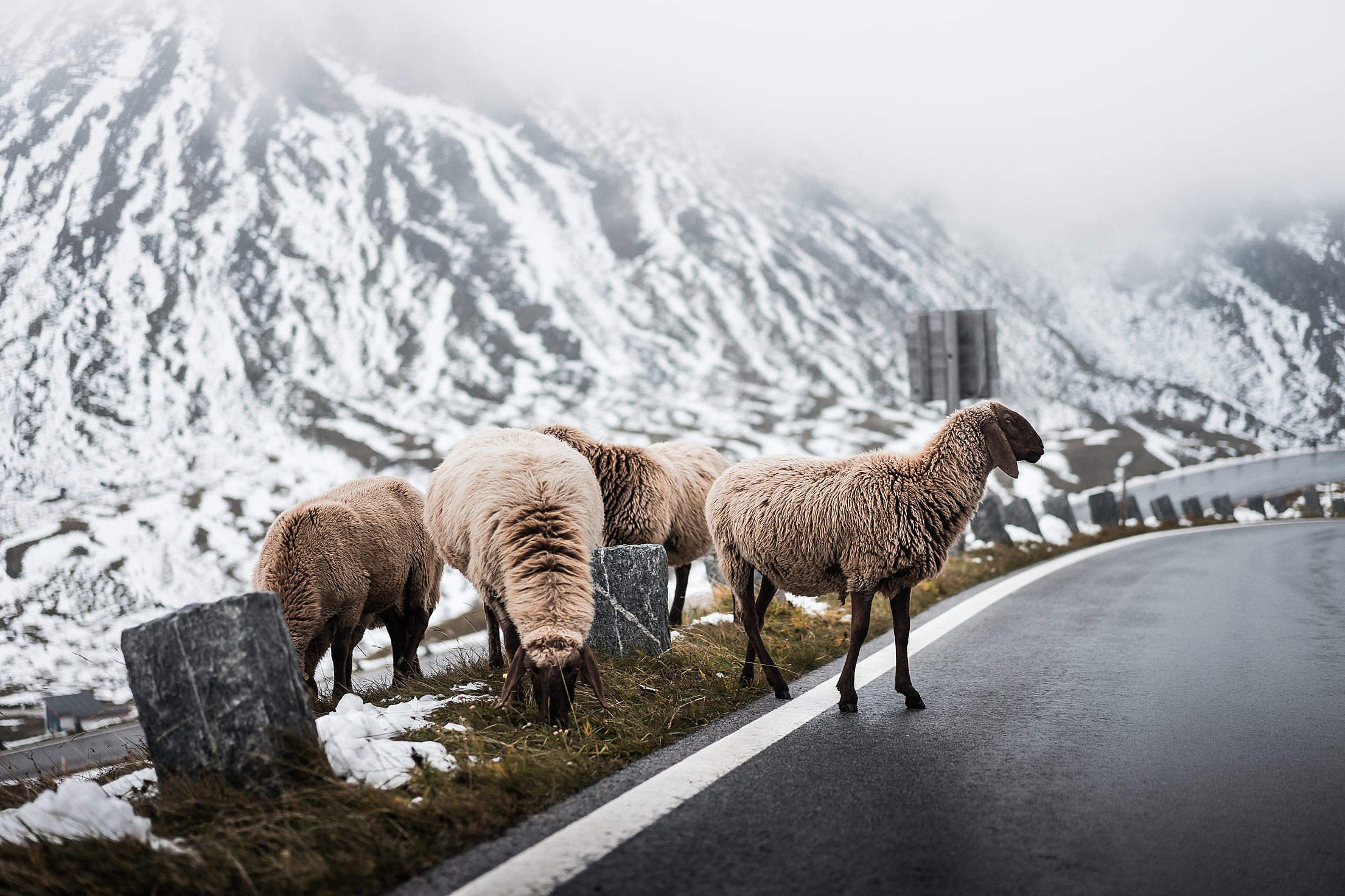 Sheep Crossing Road on Grossglockner Mountain Free Stock Photo