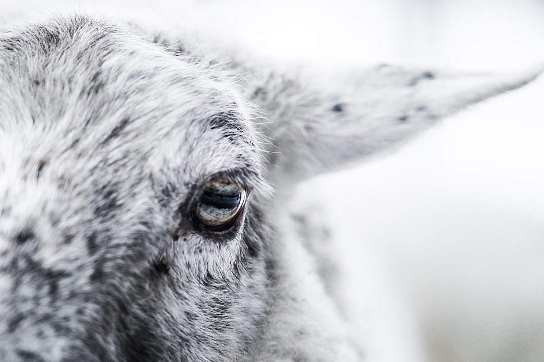 Download Sheep Eye Close Up FREE Stock Photo