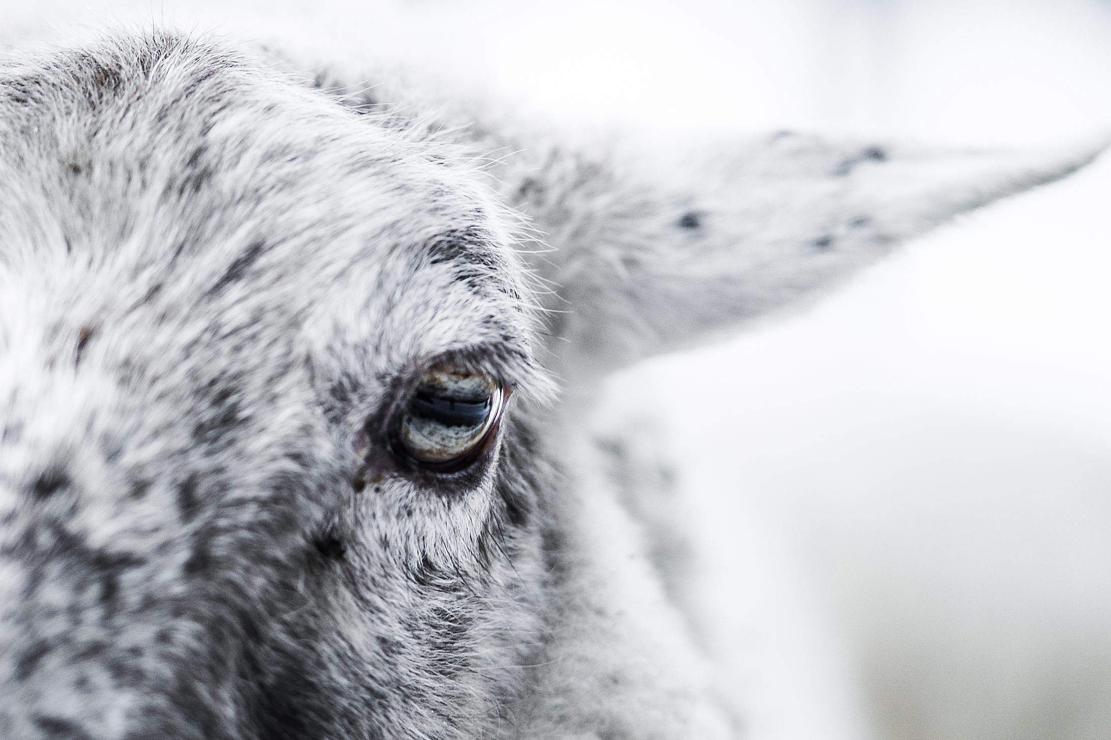Sheep Eye Close Up Free Stock Photo