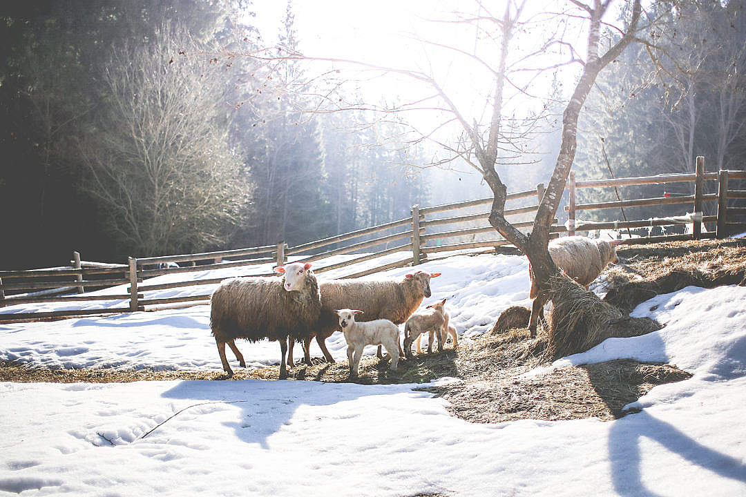 Download Sheep Family in Winter FREE Stock Photo