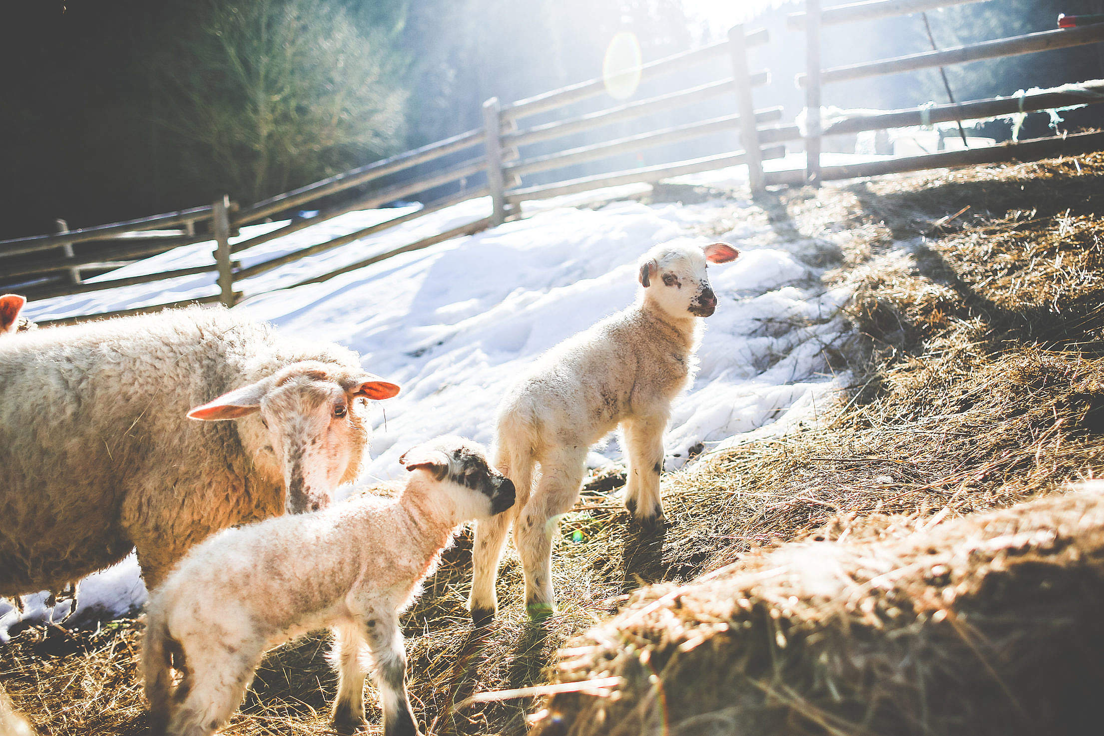 Sheep Family in Winter #2 Free Stock Photo
