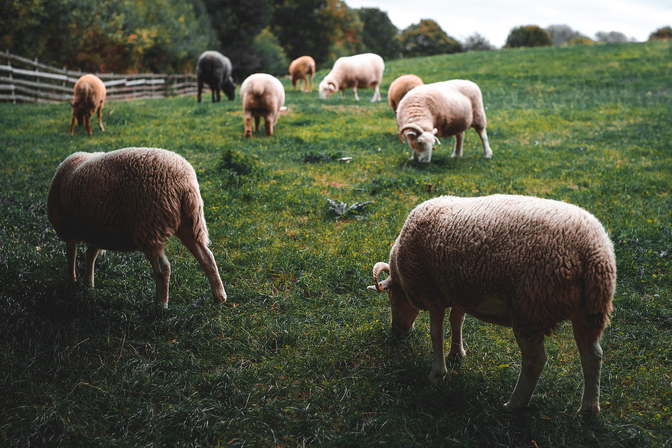 Sheeps Grazing Free Stock Photo