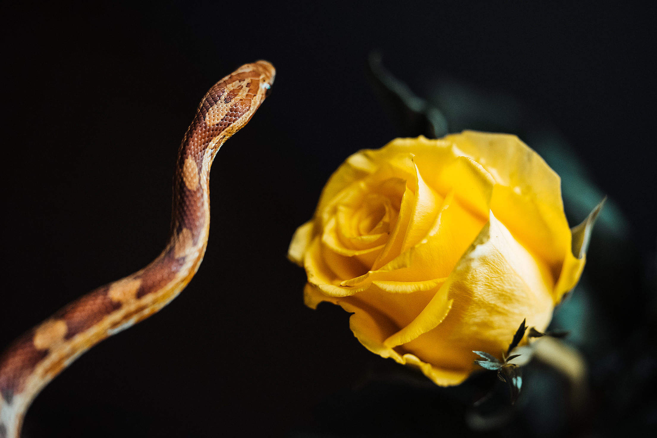 Snake and Yellow Rose Free Stock Photo