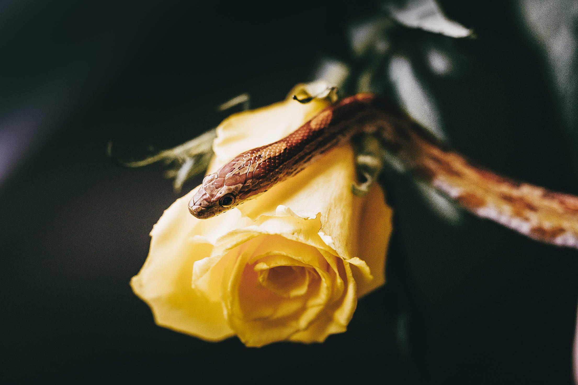 Snake on Yellow Rose Free Stock Photo