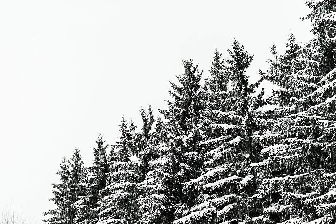 Download Snow Covered Conifer Forest Treetops FREE Stock Photo