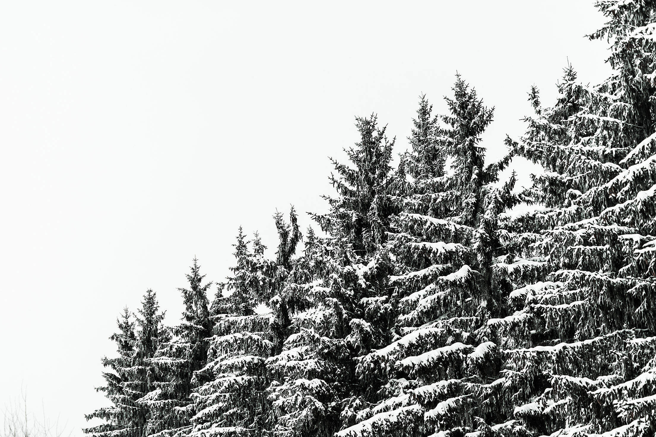 Snow Covered Conifer Forest Treetops Free Stock Photo