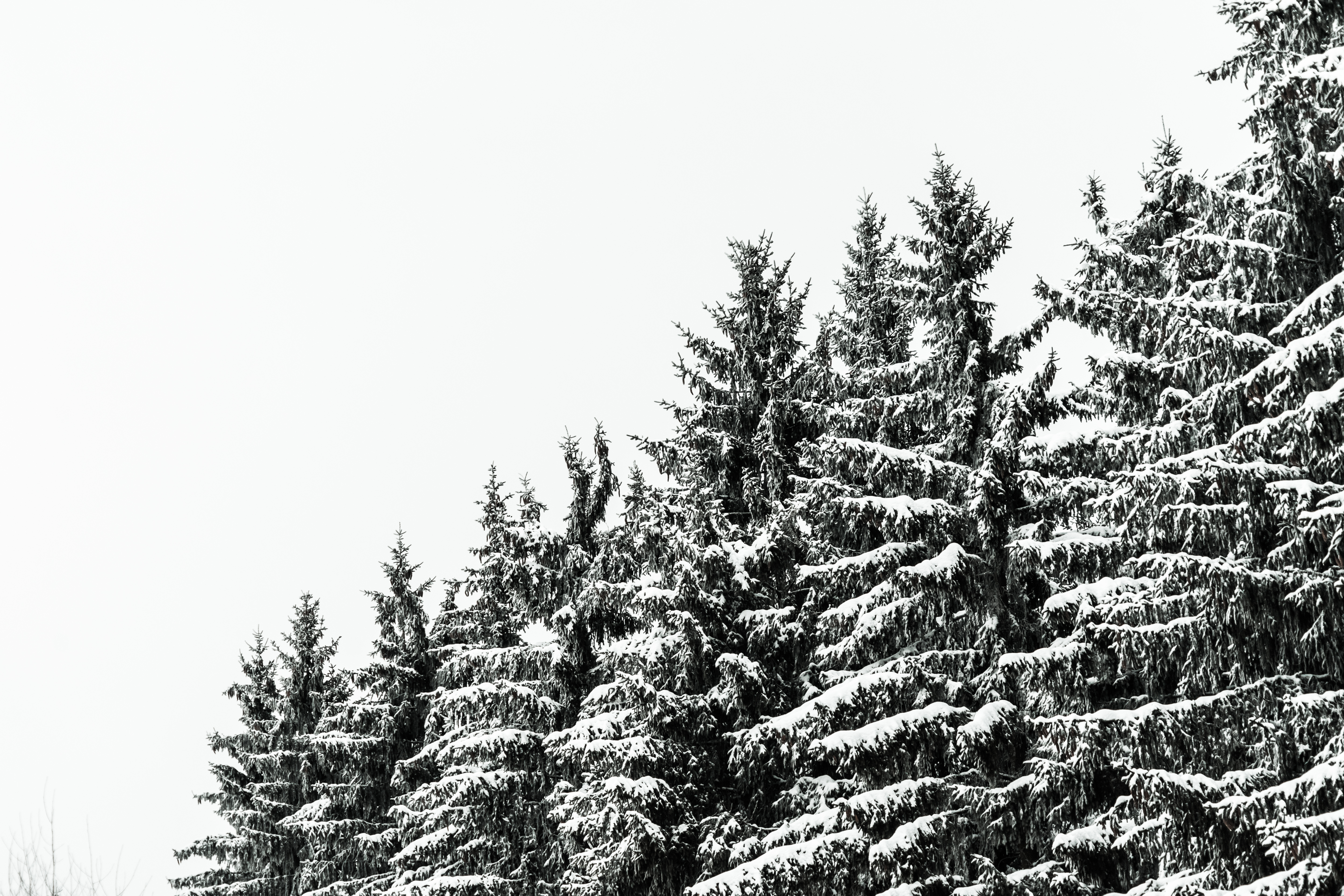 Snow Covered Conifer Forest Treetops Free Stock Photo Picjumbo