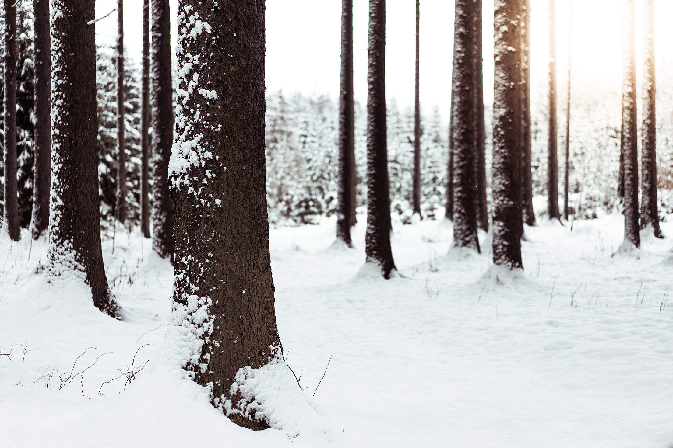 Download Snow in Forest Free Stock Photo
