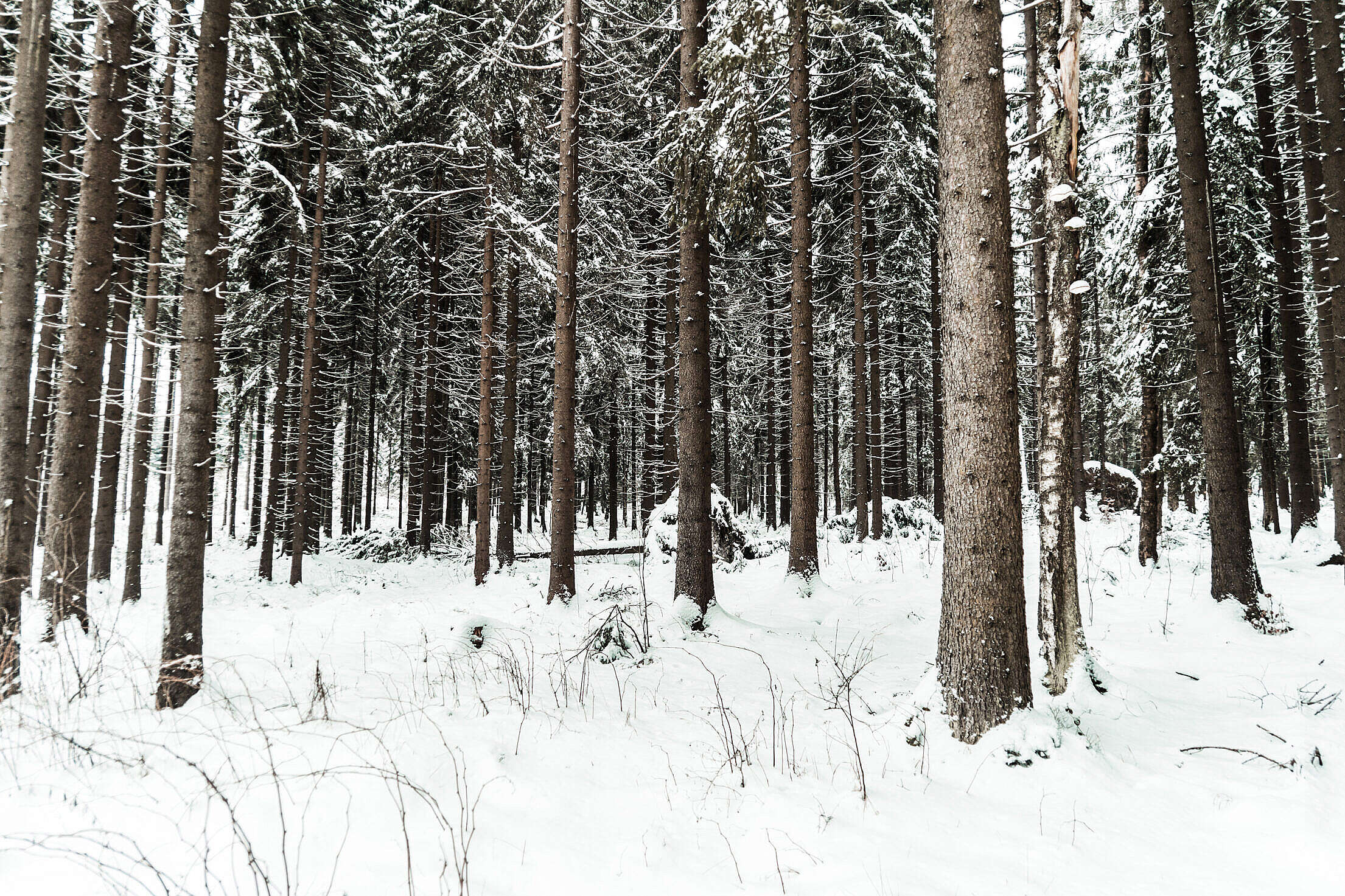 Snow in Forest Free Stock Photo