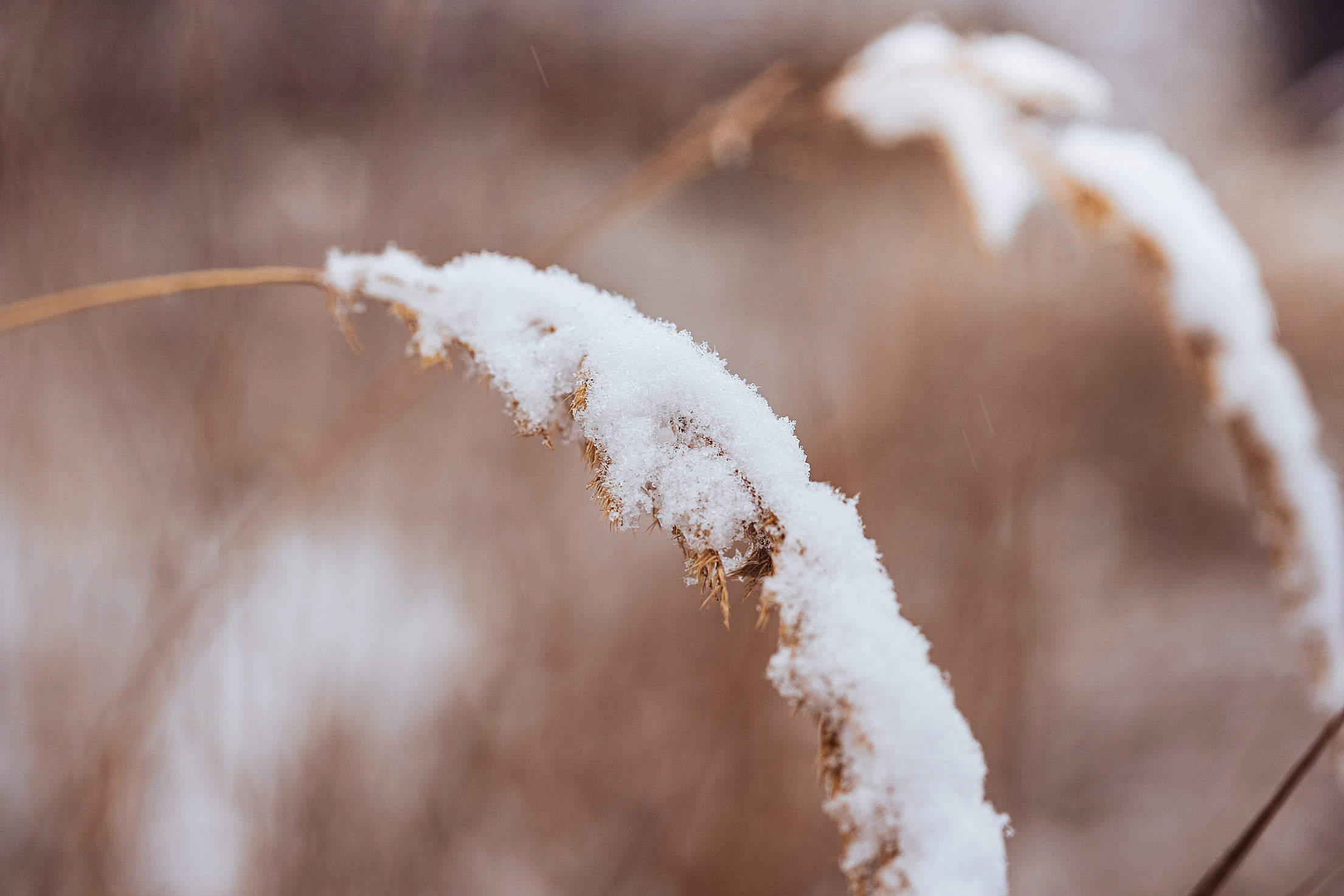 Snowy Dry Grass Free Stock Photo