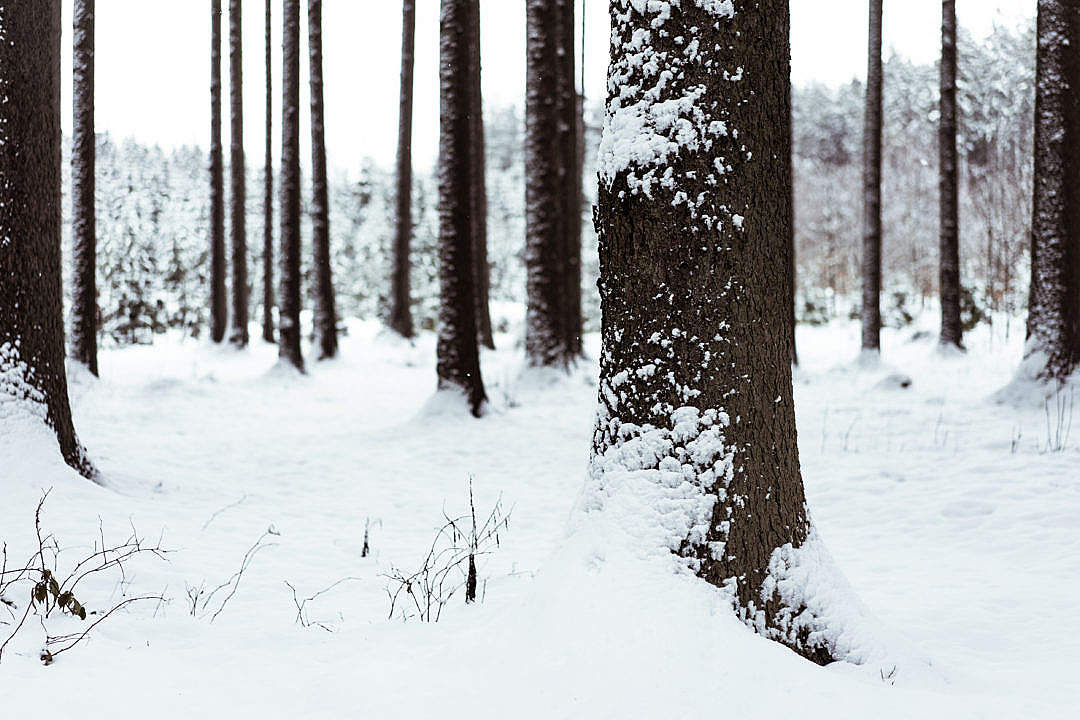 Download Snowy Tree Trunk FREE Stock Photo
